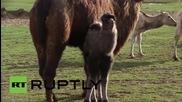 Нови камилчета в Лондонската зоологическа градина