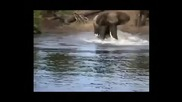 Крокодил атакува слон