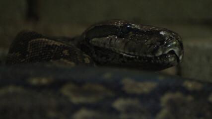 Питонът | Седмицата на змията | NG Wild Bulgaria