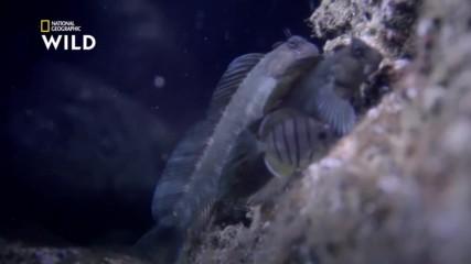 Скокът на зебровата морска кучка