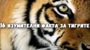 16 изумителни факта за тигрите