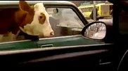 Само в Русия - Крава в Лада