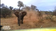 Слон атакакува Сафари Джип