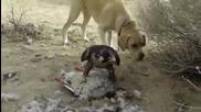 Сокол напада куче за да запази плячката си !