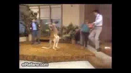 Боксиращо се кенгуру Смях!