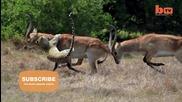 Антилопа се спасява на косъм от смъртта
