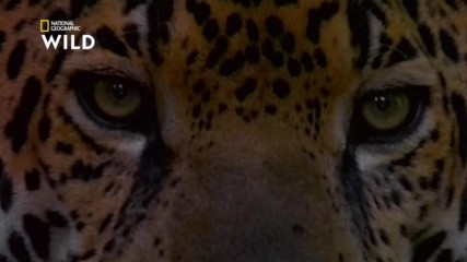 Ягуарът