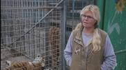 Сибирски тигри се сприятеляват с немски овчарки