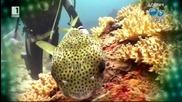 Отровна японска риба в Черно море