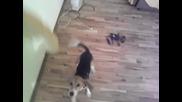 Manu The Beagle