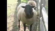 овчи неща