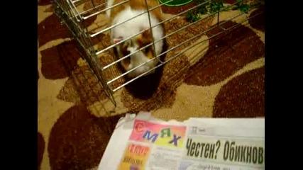 Чоко яде вестника