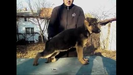 Развъдник за Немско овчарско куче продава мъжко кученце на 3,5 месеца