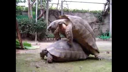 Костенурки правят секс - Djefera
