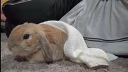 Зайче става недоволно започва да ръмжи,когато стопанинът му спира да го гали