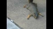 сладка катеричка се прави на умряла