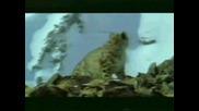 Снежен Барс - Ирбис#3