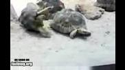 Костенурки се такоат и едната пада