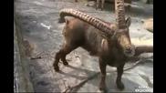 предимството на големите рога (смях)