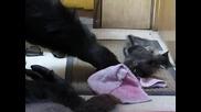 Горилата Коко си играе с две малки котета