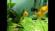 златните рибки на Руми