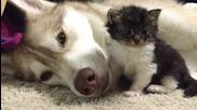 Сибирско хъски отглежда котенце