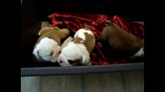 Puppies from Desire For Touch Kennel (29 days olds)