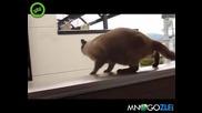Котка се мисли за летяща катерица,но не и се получава!