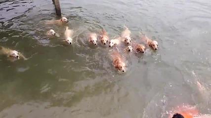 Плуване С голдън ретривъри