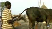 Ето как стимулират кравите да дават повече мляко ( Много Смях )