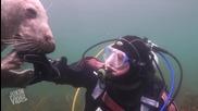 Приятелство между водололаз и тюлен