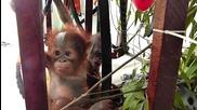 Любов от пръв поглед между бебета орангутани