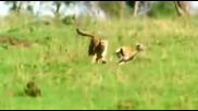 Семейството На Големите Котки