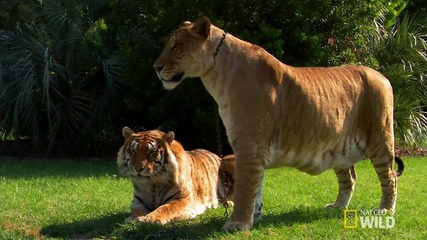 Кръстоска между Лъв и Тигър!