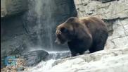 Mama Bear Sends Tourists Running in Yellowstone