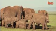 Бебе слонче е спасено след като майка му е убита от бракониери