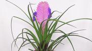 Тиландсия цианея - едно изключително красиво цвете
