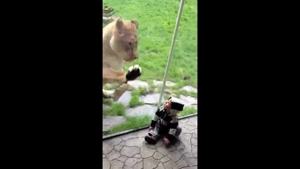 Lion tries to eat baby Part 1. - Youtube