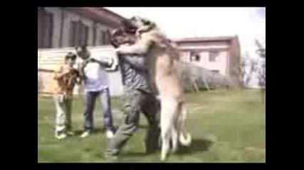 Най - голямото куче във света Огромен Кангал Vbox7