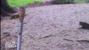 Алигатор срещу домашна котка