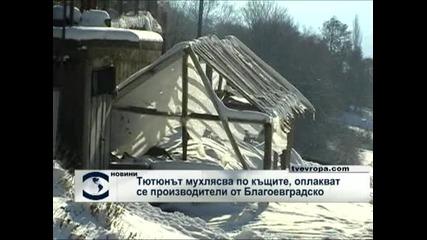 Тютюнът още не се изкупува и мухлясва по къщите, оплакват се производителите от Благоевградско