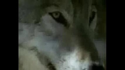 Еddie Vedder - The Wolf