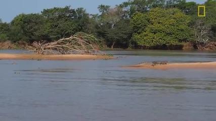 Ягуар напада крокодил