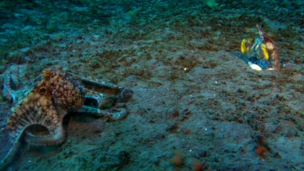 Скаридa богомолка срещу октопод