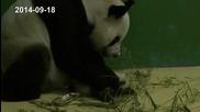 Чудо! Панди тризнаци се родиха в Китай