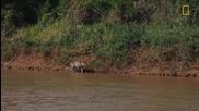 Ягуар перфектен ловец , напада крокодил ! видео