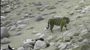 Амурски тигри в Тайната гора