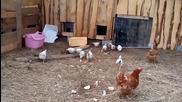 Бързо прибиране на пилета в кокошарник - Русия
