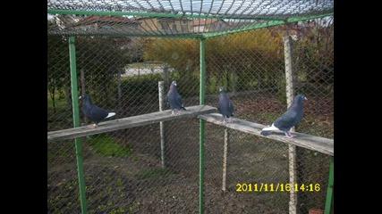 гълъбите на тодор жестокия гр. хасково