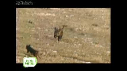 Лов на Прасета в Турция